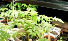 Indoor gardens Indoor gardens: why you should have one Indoor Vegetable Gardening With Tomato Plants 234x141